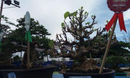Hut Kota Bengkulu Diramaikan Kontes Bonsai Dan Batu Akik